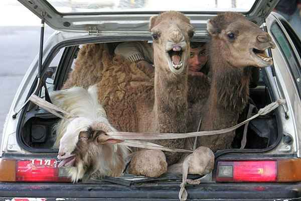 Animal Funny Pictures Taxi for camel