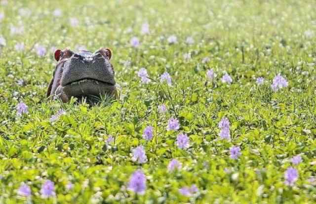 Animal Funny Pictures Where is hippo?