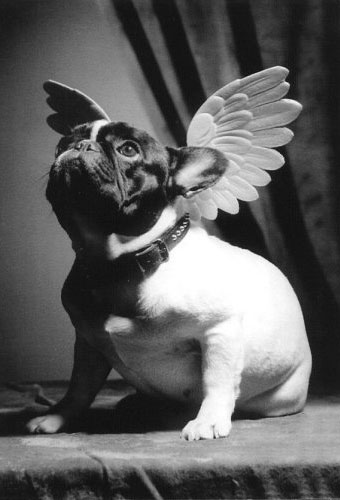Dog Funny Pictures Dog angel