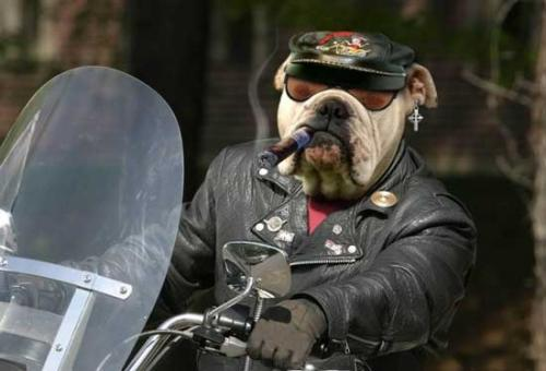 Dog Funny Pictures Dog - biker