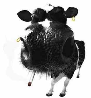 Animal Funny Pictures A crazy cow