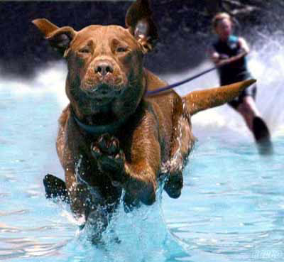 Dog Funny Pictures The Water Skis