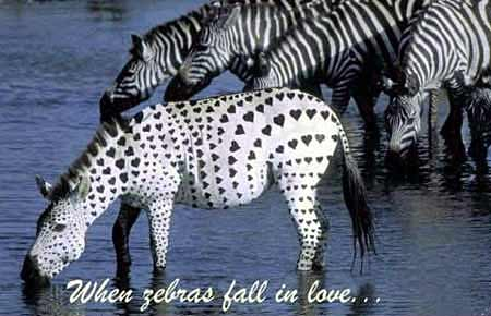 Animal Funny Pictures When zebras fall in love
